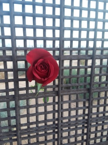 Border wall rose